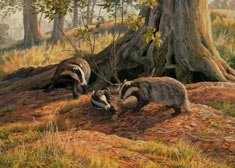 badgers print - canvas print of badgers playing