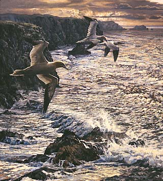 gannets print: wildlife art prints by Martin Ridley - gannets, heading out - limited edition of 450 prints