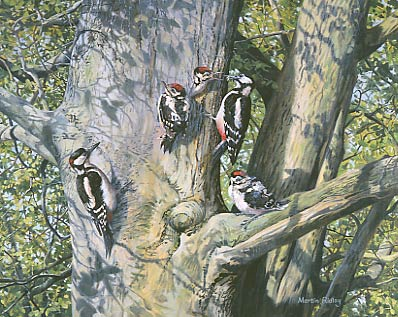 Great-spotted woodpecker picture -woodpecker painting