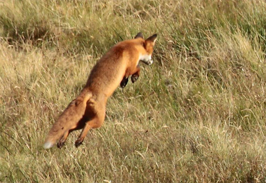 Photo of a pouncing red fox