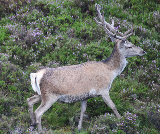 Stag - August