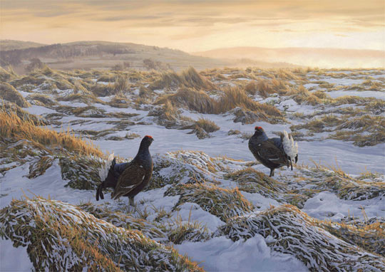 """Tails up"" - Black grouse original oil painting on canvas by Martin Ridley"