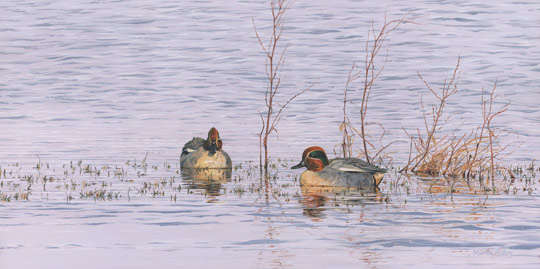 drake teal ducks picture