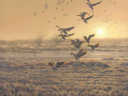 A flock of geese landing in a field. An original oil painting of pink-footed geese. Wildfowl Art