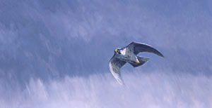 Peregrine falcon print - peregrine in flight picture - The Stoop