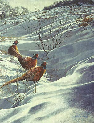 ring-necked pheasants in snow, pictures of pheasants