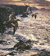 Bird paintings - original pictures of British birds